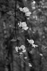 Dogwood in Monochrome (San Francisco Gal) Tags: dogwood cornusnuttallii mountaindogwood californiadogwood pacificdogwood monochrome bw vertical tree bract yosemite yosemitevalley yosemitenationalpark april bokeh