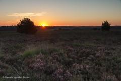 Purple Sunrise (Renate van den Boom) Tags: 08augustus 2016 boom europa gelderland heide jaar landschap maand natuur nederland renatevandenboom veluwezoom