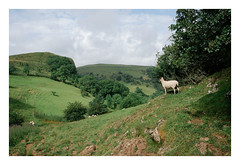 . (-klik-) Tags: picturesque green sheep slowtime showtime