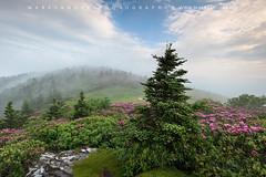 Roan Highlands Catawba Rhododendron Spring Landscape (Mark VanDyke Photography) Tags: roanmountain roanhighlands roan highlandmeadow appalachianmountains southernappalachianmountains appalachia appalachiantrail appalachiannationalscenictrail fog catawbarhododendron rhododendron pink magenta bloom blossom spring seasonal morning grassyridge northcarolina westernnorthcarolina nc wnc easterntennessee tn outdoors outside landscape photography