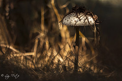 Macrolepiota procera (lizfoto27) Tags: mushrooms nature forest macrolepiotaprocera bokeh m42lens hungary nagyzlbgomba zlbgomba gomba nyr summer erdmlyn sunshine