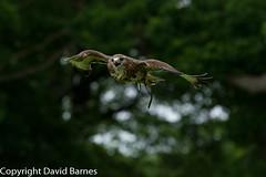 Common Buzzard (captive) (Wild About.......) Tags: 1d4 birds british buteobuteo commonbuzzard duncombepark flightshot ncbp nationalcentreforbirdsofprey nature naturephotography uk unitedkingdom wildlife yorkshire