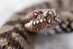 STZ_2713fb (szugic) Tags: snake viper viperidae venom poison vipera viperaberus berus bosniensis sarka montenegro