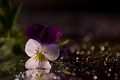 A diamond waterfall (bresciano.carla) Tags: flowers pentax macro light flickr violet colors bokeh drop