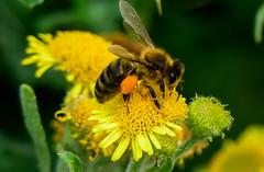Wild Bee close-up (williams19031967) Tags: bee macro bumble insect flower yellow england uk britain pretty scene embankment nector honey wellingborough close up panasonic power zoom powerzoom fz300 fz330 fz200 fz72 fz1000 lumix leica 25mm 600mm f28