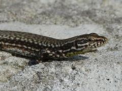lizard (kyry2010) Tags: lucertola lizard eidechse reptile rettile