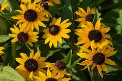 A Patch Of Rudbeckia (Jeannot7) Tags: rudbeckia flower garden cobourg ontario blackeyedsusan