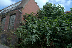 Wild Fig Tree in the centre of Preston (Tony Worrall) Tags: preston north northwest lancs lancashire england northern uk update place location visit area county attraction open stream tour country welovethenorth unitedkingdom decay yard nature figs figtree wild urban urbannature green greenery