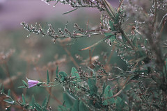 (decemberGirl.) Tags: dew nature morning bokeh convolvulus artemisia flower green summer 50mm