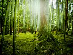 Looking for Princess Kaguya (Rekishi no Tabi) Tags: kaguyahime princesskaguya kyoto nanzenji tenjuan japanesegarden moss bamboo
