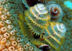 Christmas tree worms (gillybooze) Tags: madaleunderwaterimages allrightsreserved christmastreeworm sea marine caribbean bonaire filterfeeder underwater water coral