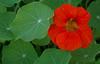 Tropaeolum majus, Green Place Reserve, Mosman Park, Perth, WA, 12/08/16 (Russell Cumming) Tags: plant weed tropaeolum tropaeolummajus tropaeolaceae greenplacereserve mosmanpark perth westernaustralia
