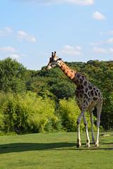 amneville-171 (cedric vis) Tags: animal girafe