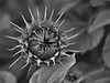 Sleeping Beauty in Black&White (W_von_S) Tags: sunflower sonnenblume sleepingbeauty flower plant blume pflanze natur nature sw blackwhite schwarzweis wvons werner sony outdoor summer sommer 2016