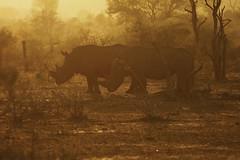 Rhinos at sunrise in Kruger (crafty1tutu (Ann)) Tags: travel holiday southafrica africa krugernationalpark animal rhinoceros sunrise mist fog crafty1tutu anncameron canon7dmkii naturethroughthelens
