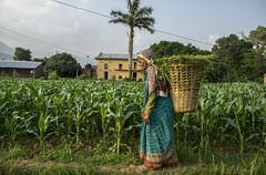 Farmer Man Kumari Panday carries a basket of grass for her buffalo home through her familys maize field in Bhamake, Dang (CIMMYT) Tags: nepal csisa cimmyt maize agriculture smallholder farmer mechanization asia