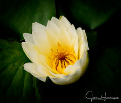 Birth of Beauty (jhambright52) Tags: macroflower macro waterlily whitewaterlily ngc doublefantasy