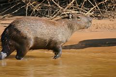 Capybara (Hydrochoerus hydrochaeris) (berniedup) Tags: pantanal portojofre pocon riosoloureno capybara hydrochoerushydrochaeris taxonomy:binomial=hydrochoerushydrochaeris