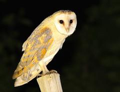 Coruja-das-torres / Lechuza comn / Barn Owl. (Antnio Guerra) Tags: corujadastorres lechuzacomn barnowl tytoalba coth5