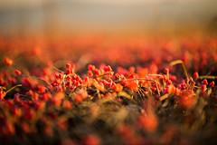 Uva de mar (Nathalie Le Bris) Tags: efedra raisindemer rouge rojo red fruta fruit sea mer sunset