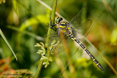 Golden-ringed Dragonfly (ABPhotosUK) Tags: animals anisoptera canon cordulegasterboltonii dartmoor devon dragonflies ef100400mmisii ef25mmextensiontube eos7dmarkii goldenringeddragonfly invertebrates macro nocrop odonata thecoombe wildlife