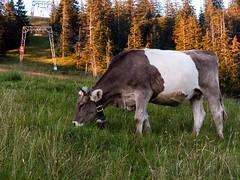 Swiss cow (regina_jaenicke) Tags: day251 p3662016