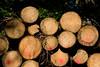 ckuchem-8290 (christine_kuchem) Tags: abholzung baum baumstämme bäume einschlag fichten holzeinschlag holzwirtschaft wald waldwirtschaft