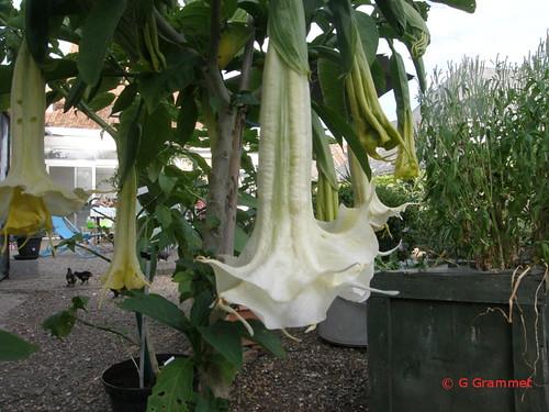 Sun angel tweede bloei 28 8 16
