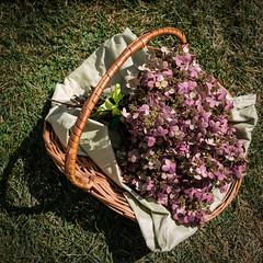 Hydrangeas (pbradyinct) Tags: festival connecticut hydrangeas flower watertown basket fall pink veteransmemorialpark