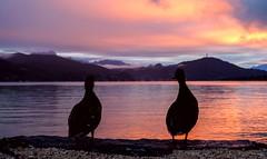 Enjoy the sunset (blatnik_michael) Tags: fuji xf1024 sunset sonnenuntergang wrthersee enten ducks duck ente farben lake carinthia krnten austria herbst