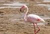 J10. Flamant rose - Walvis Bay (Darth Jipsu) Tags: namibie na namibia afrique africa safari voyage travel walvisbay erongoregion phoenicopterus roseus flamant rose oiseau bird pink