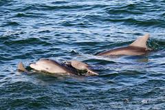 Porpoise Family (dbadair) Tags: ft desoto st pete fl wildlife birds fishing dolphin family pod group