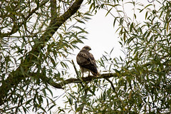 Buzzard (jlaw19uk) Tags: bird feather colour sigma canon 150600c contemporary rspb wildlife