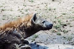 Looking at infinite (jhderojas) Tags: kenia hyena masai mara