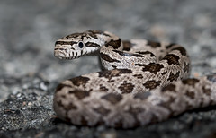 Ratsnake Hatchling (cre8foru2009) Tags: snake herping reptile georgia nature night
