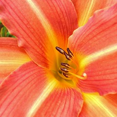 Day Lily (Cathlon) Tags: orange flower nature closeup three petals pattern daylily dailychallenge sepals odc2 ourdailychallenge