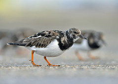 Ruddy Turnstone (Wouter's Wildlife Photography) Tags: bird ngc npc shorebird ruddyturnstone turnstone wader arenariainterpres mygearandme zuiderhavenhoofdscheveningen