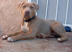 sad pitbull dont look.so sad (benjisdogs) Tags: pitbulls pitbull animals grei love people funny nude pics pictures animalplanet natgeo 2012 pitt ca earth models