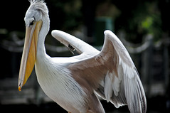 Great White Pelican E (larryn2009) Tags: california white bird fall animal yellow zoo sandiego unitedstatesofamerica september 2012 pelecanusonocrotalus sandiegocounty greatwhitepelican sandiegosafaripark