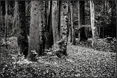 Herbstwald monochrom (Helmut Reichelt) Tags: leica bw germany deutschland bavaria herbst natur oberbayern sw landschaft wald bltter m9 isarauen geretsried silverefexpro2 leicateleelmaritm90mmf28ii