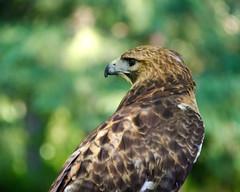 Vigilance (Truebritgal) Tags: portrait brown bird eye nature closeup nikon dof bokeh hawk profile beak wv westvirginia prey nikkor wheeling 18200mmlens d7000 carlsbirdclub truebritgal