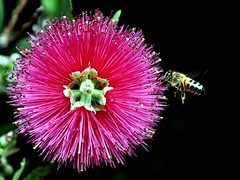 Bee and Pink Bottlebrush flower (missgeok) Tags: lighting pink plant flower macro nature floral colors beautiful closeup composition garden insect focus pretty colours angle artistic native bokeh vibrant details sydney creative australian vivid australia bee bottlebrush colourful framing bristles explosive callistemon timing sharpfocus bokehlicious nikond90 cleaningbottles beeandpinkbottlebrush
