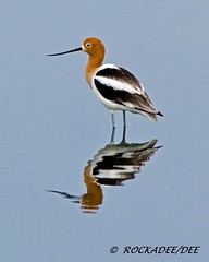 American Avocet (Summer) (ROCKADEE_Two With Eagles 1951 / Rockey & Dee) Tags: summer reflection florida wildlife american dee plumage shorebird avocet naturerules rockadee birdinginthewild