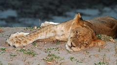 Nap Time (April.Moulton) Tags: africa sleeping grass canon cub nationalpark sand sleep flash lion safari canon350d lioncub zambia nationalgeographic africansafari southluangwa babyanimal babyanimals canonphotography sleepinganimal southluangwavalley flickrbigcats
