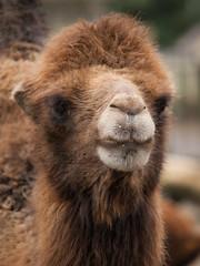 Camel (wwarby) Tags: trip family portrait slr animal mammal outdoors zoo wildlife olympus event camel digitalcamera e3 50200mm zuiko digitalslr hertfordshire captivity dayout broxbourne paradisewildlifepark zuikodigital olympuse3