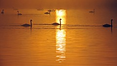 Dovecote Swans (Rob Felton) Tags: sun lake sunrise bedford dawn swan wildlife bedfordshire felton sunup muteswan firstlight dovecote cygnusolor gravelpit willington robertfelton bedfordrivervalleypark