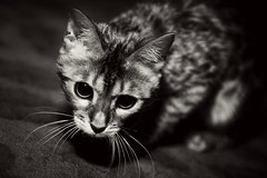 Ayisha (Salva Coll) Tags: bw animal cat canon kitten small gato 7d ayisha seleccionar