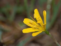 Narcissus cavanillesii (diegocon1964) Tags: narcissus amaryllidaceae liliidae liliopsida magnoliophyta asparagales narcisseae amaryllidoideae cavanillesii narcissuscavanillesii