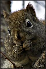 La vedette du jour (Guylaine Begin) Tags: park canada nature animal squirrel explore newbrunswick 200 nouveaubrunswick 3000 parc madawaska 188 redsquirrel cureuil 239 stjacques edmundston rongeur 3017 expore cureuilroux