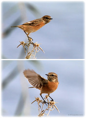 Stonechat stretching and balancing